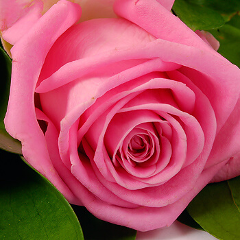 101_white_and_pink_roses_3